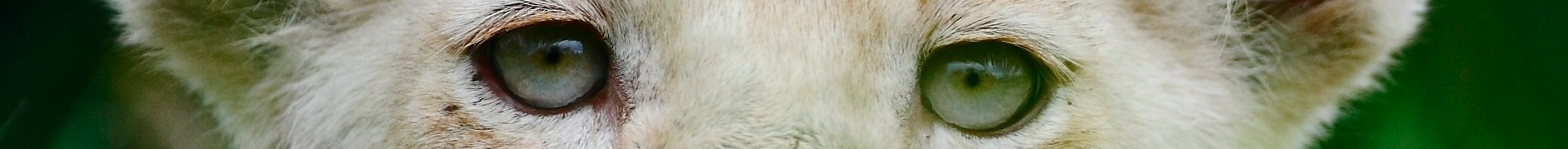 LionEyes-BannerSizeFULL