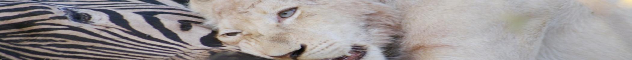 LionCubZebra_banner