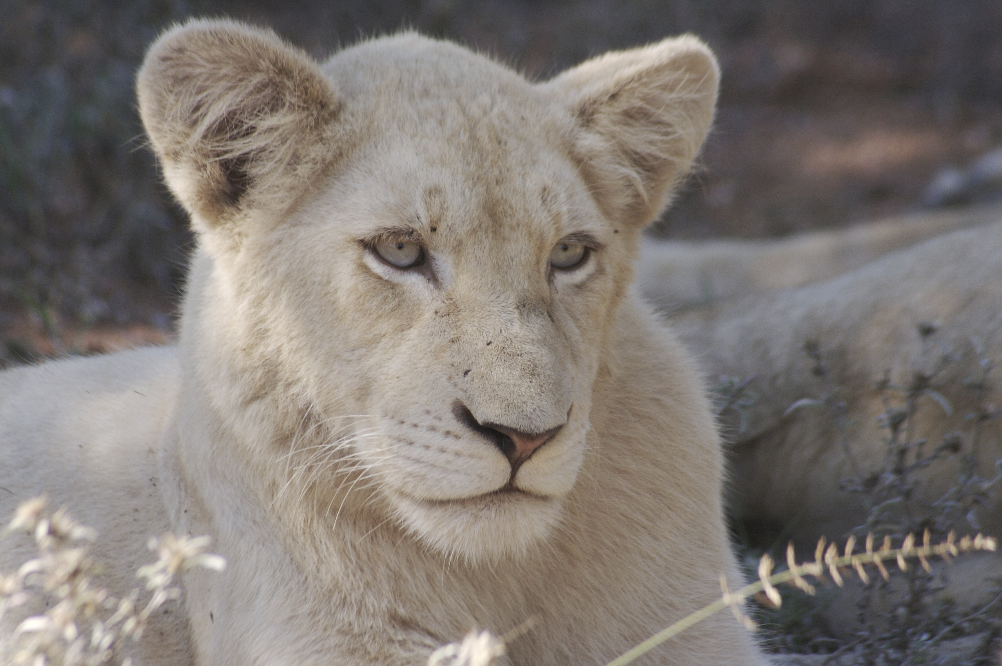 White Cub  1 year old