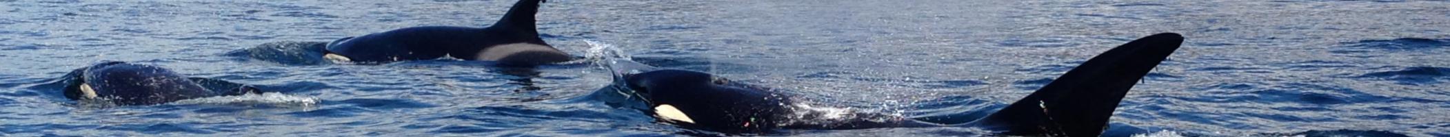 killerwhales_banner